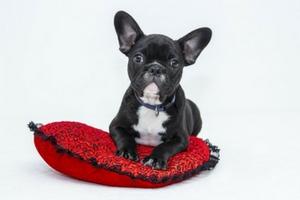 hundbädd hundsäng med bulldog