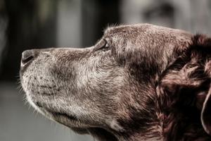 gammal hund