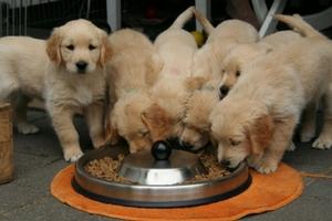 hundvalpar som äter hundmat