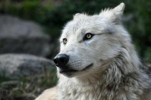 Spannmålsfritt hundfoder liknar det vargar äter