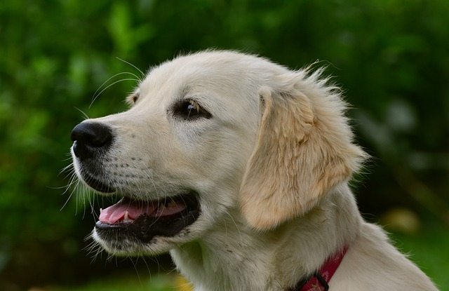 avmaskning hund - Golden Retriever