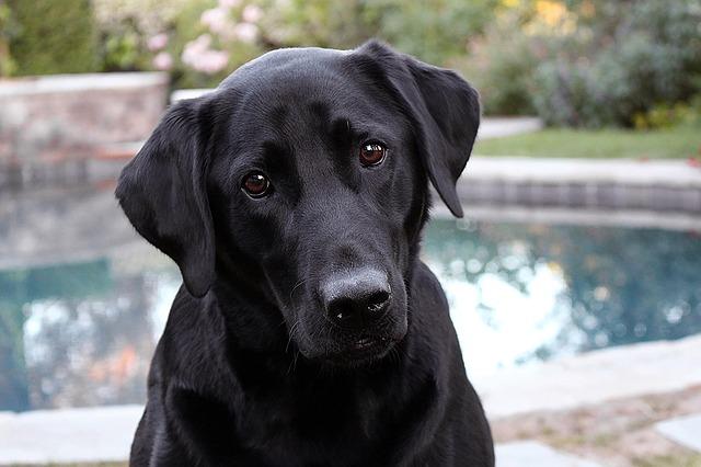Vilka allergivänliga hundraser finns det?