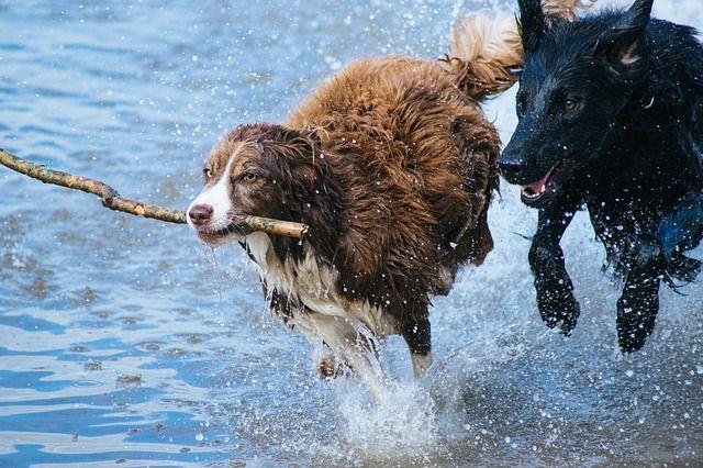Hundbus vatten