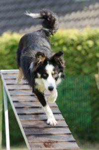 Hundträning agility