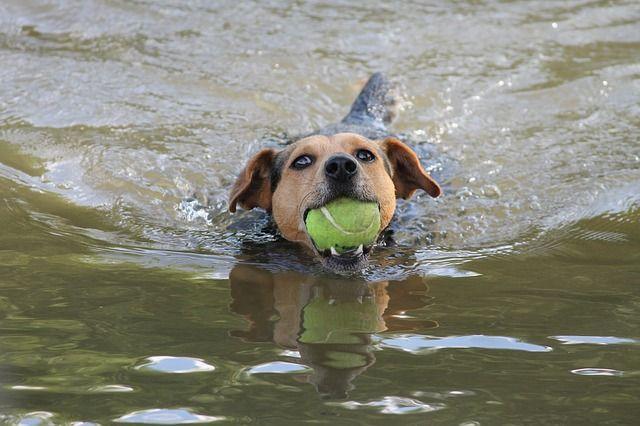 Hund i vatten