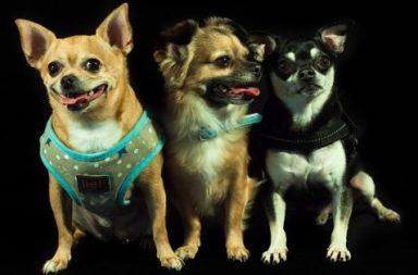 Tre små hundar utvald