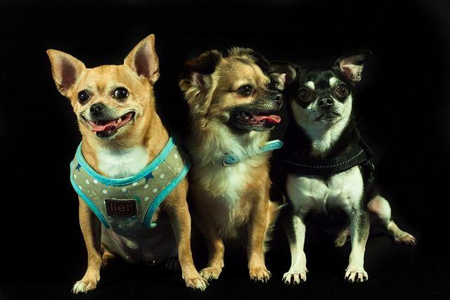 Tre små hundar