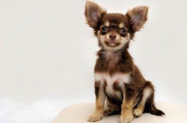 Chihuahua utvald
