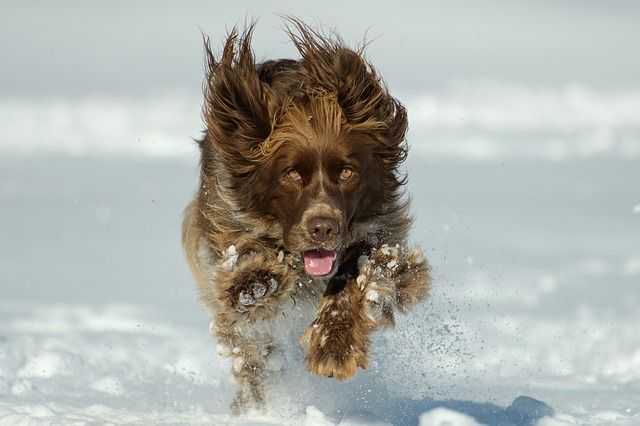 Springande hund vinter
