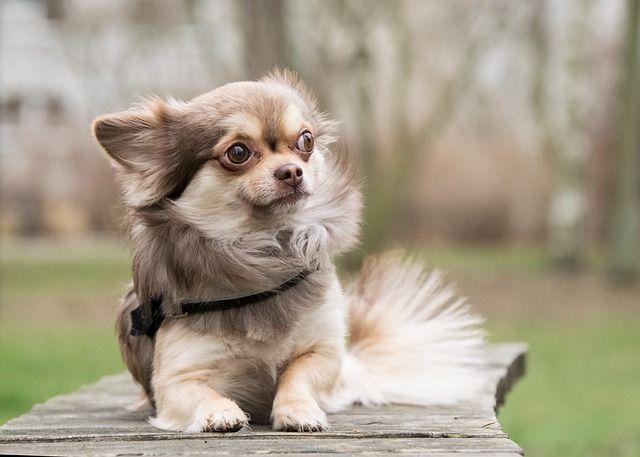 Långhårig Chihuahua