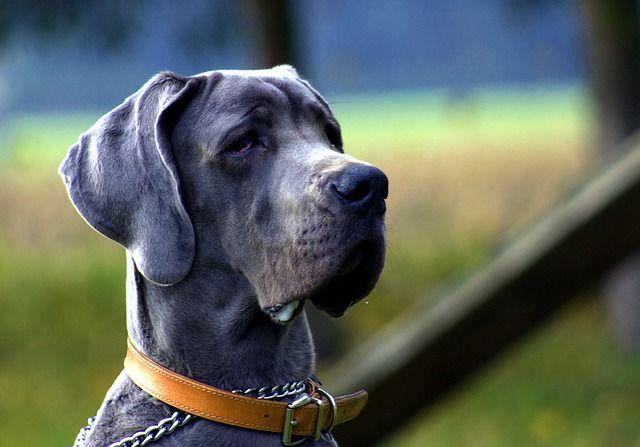 Hundporträtt utomhus
