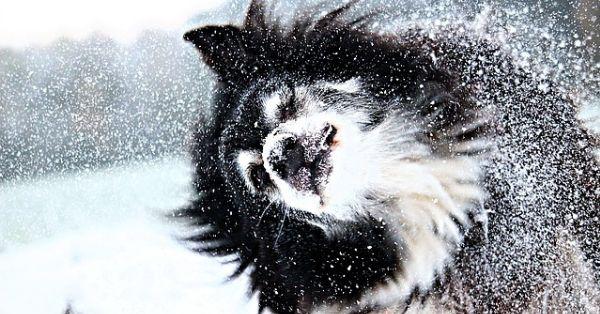 Lapphund i snö utvald
