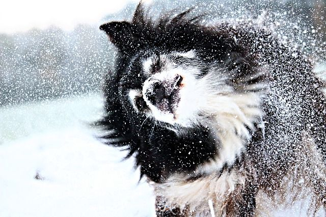 Lapphund i snön